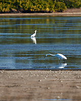 Great Egret (Ardea alba) and Snowy Egret (Egretta thula). Image taken with a Nikon D3s camera and 70-300 mm VR lens.