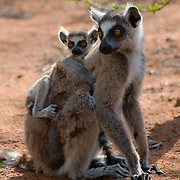 Ring-tailed lemur mother with baby. Madagascar