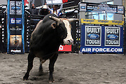 15 October 2010-New York, NY- Bulls at the The Professional Bull Riders' (PBR) Compettion in the Built Ford Tough Road to Las Vegas Series presented by Cooper Tires and held in New York's Times Square on October 15, 2010 in New York City. ..The Times Square competition is a special prelude event to the 2010 PBR World Finals. The 2010 PBR Ford Tough World Finals will take place October 20-24 in Las Vegas, where the coveted PBR Championship Buckle and a $1 Million bonus are up for grabs. Photo Credit: Terrence Jennings
