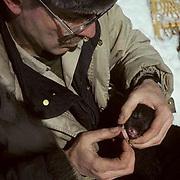 Black Bear, (Ursus americanus) Minnesota, D.W. Kuehn checks teeth and gums of small cub taken from winter den for data.