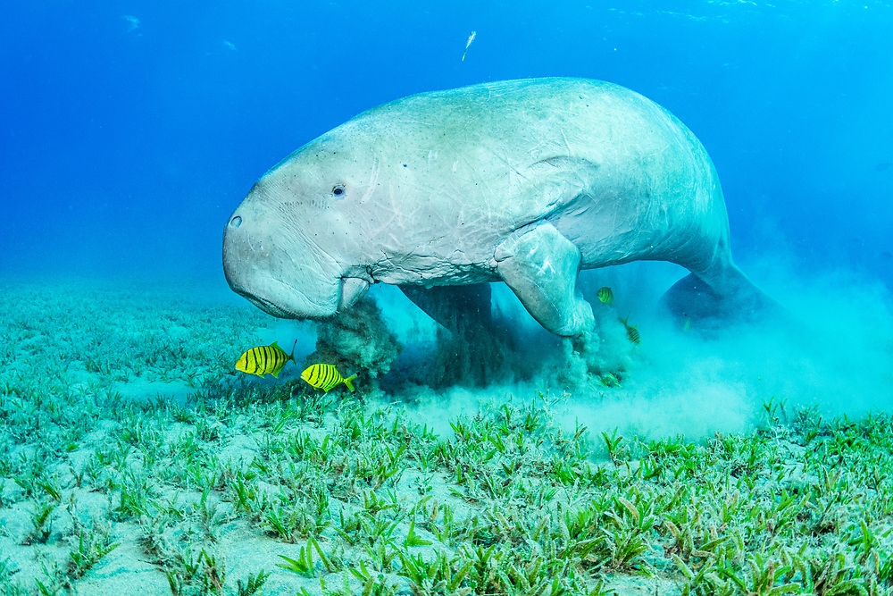 Dugong (Dugong dugon) feeding on seagrass (Halophila stipulacea) with juvenile golden trevally (Gnathanodon speciosus). Image made in the Red Sea off Marsa Alam, Egypt