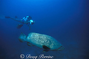 Dr. Pat Colin videotapes Goliath grouper or jewfish, <br /> Epinephelus itajara, at spawning aggregation site<br /> Florida ( Gulf of Mexico )