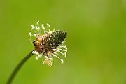 Flies flying in circles and feeding from a grass flower. Riborth Plantain (Plantago lanceolata) Smaland region. Sweden, Europe.