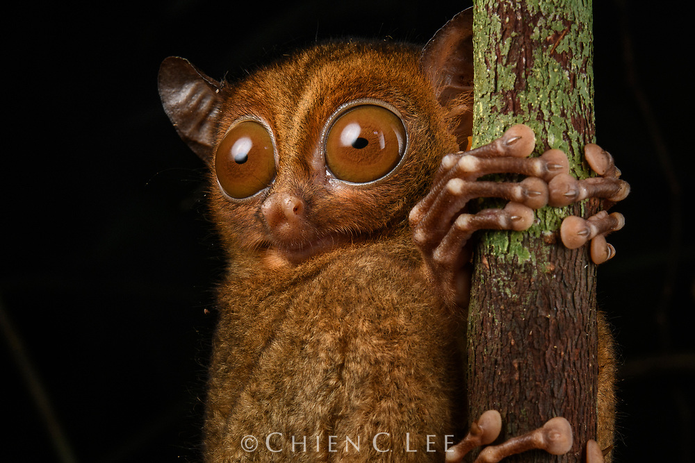 A Horsfield's Tarsier (Cephalopachus bancanus) on the prowl for food in the rainforest of western Borneo. These tiny primates are exclusively carnivorous, hunting insects, small lizards, and even snakes by leaping deftly through the thick forest understory and snatching prey with their long nimble fingers. Unlike most other nocturnal mammals which possess a reflective layer behind their retina to help with night vision, tarsiers instead compensate by having enormous eyes. In fact, this species sports the largest eyes in relation to its body size of any mammal in the world - these are locked in place and the animal is only able to shift its vision by rotating its head. Sarawak, Malaysia (Borneo).