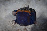 Ostracion meleagris (Spotted Boxfish