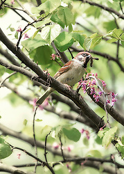 Sparrow with a caterpillar in the beak