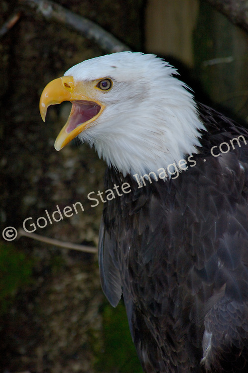 The Bald Eagle is the National Symbol of the United States.   The only eagle unique to North America.  <br /> <br /> Individuals develop their distinctive white head and tail feathers when 4 to 5 years old and can have a life span of over 40 years.    <br /> <br /> Range: Alaska to Baja California and Maine to Florida    <br /> <br /> Species: Haliaeetus leucocephalus