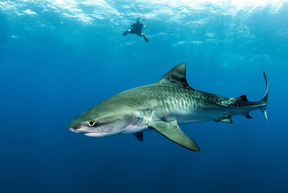 Tiger shark (Galeocerdo cuvier) in open ocean with freediver in the background. Image made off Eleuthera, Bahamas.