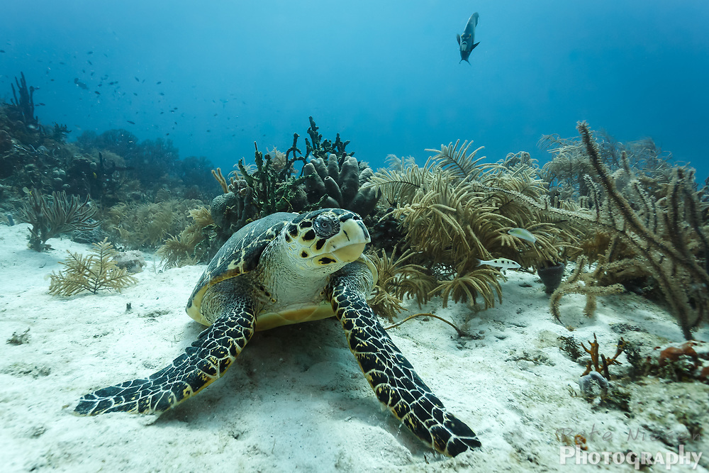 Hawksbill turtle, Eretmochelys imbricata , rests on sand on the edge of coral reef