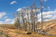 Bisonte solitario, Lamar Valley, Yellowstone NP, Wyoming (Estados Unidos)