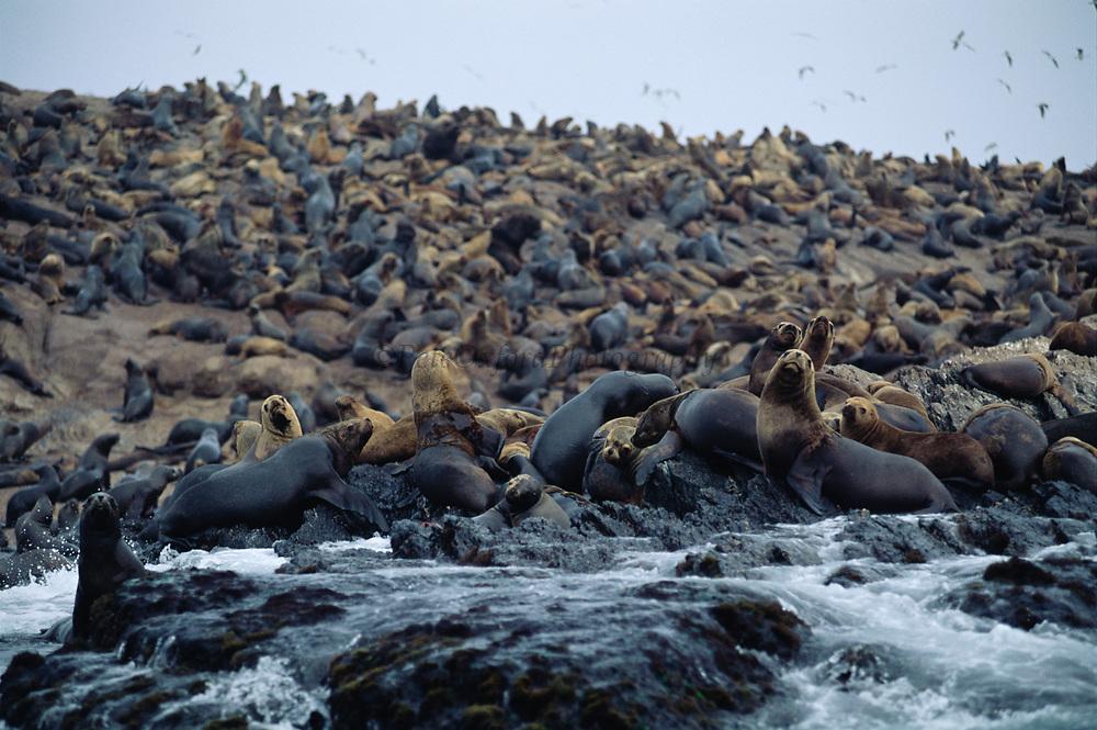 South American Sea Lions or Southern Sea lions<br />Otaria byronia<br />Islas Hormigas de Afuera, off PERU   South America<br />RANGE: PERU, CHILE, ARGENTINA, URUGUAY