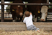 Two year baby boy feeds a cow on a dairy farm