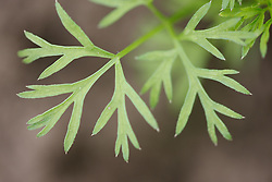 Close-up of carrot leaf