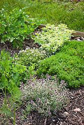 Herb bed with Chamaemelum nobile (Chamomile), Oreganum vulgare 'Country Cream' (Oregano), Thymus 'Alba', and Thymus 'Silver Posie' (Thyme).