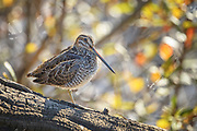 The Wilson's Snipe popped up on the down log along the edge of the marsh at Wiley Siough. Its long bill stuck down and its right eye glared right at us.