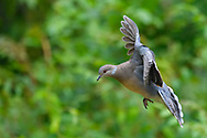 Oriental Turtle Dove, Streptopelia chinensis, flying in the Yangxian Biosphere Reserve, Shaanxi, China