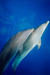 wild bottlenose dolphin and calf, Tursiops truncatus, bow-riding, off Kona Coast, Big Island, Hawaii, Pacific Ocean
