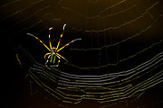 An Orb Spider in his web, Costa Rica