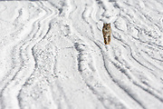 Bobcat (Lynx rufus) on the road in Yellowstone in winter.