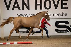 034, Safari Bo De W&S<br /> BWP Hengstenkeuring 2021<br /> © Hippo Foto - Dirk Caremans<br />  11/01/2021