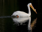 Pelican cruises through the water near Oxbow Bend, Grand Tetons National Park, Wyoming