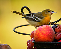 Female/Immature Baltimore Oriole. Image taken with a Fuji X-T2 camera and 100-400 mm OIS lens