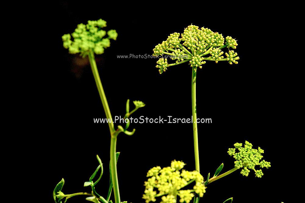 Yellow flowering plants on black background