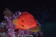 coral ( jewel ) grouper or coral hind, Cephalopholis miniata, <br /> Similan Islands, Thailand ( Indian Ocean )