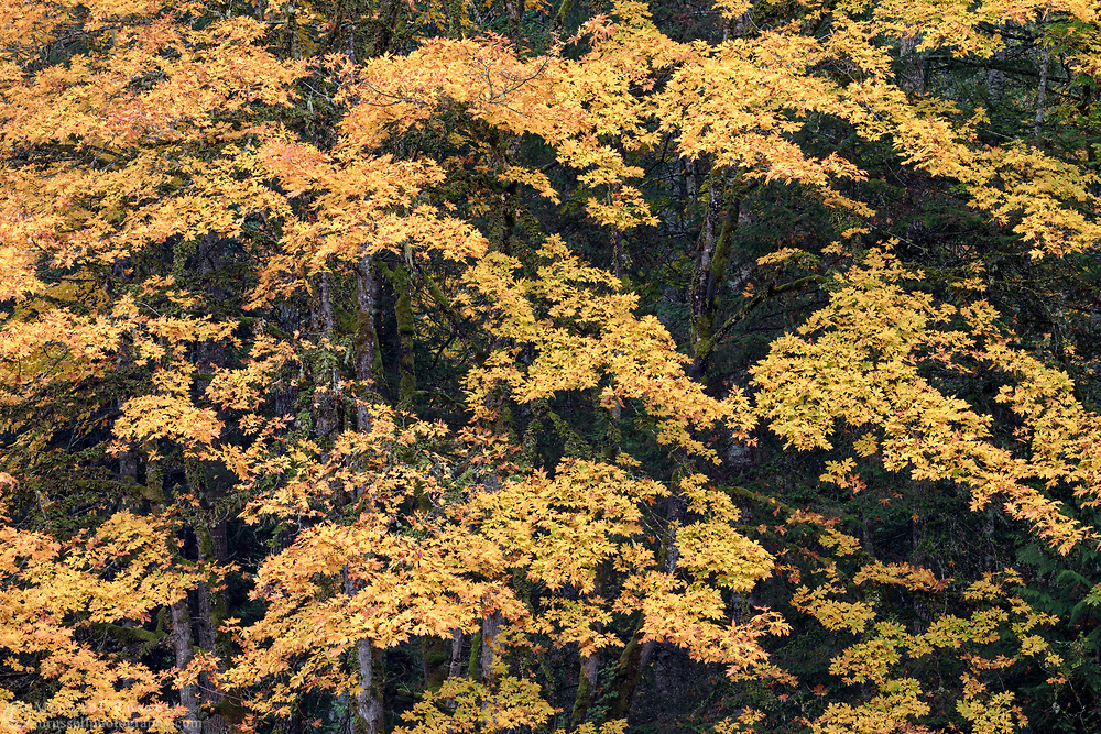 Orange and yellow fall leaves on a large Bigleaf Maple Tree (Acer macrophyllum). Photographed at Duck Creek Park on Salt Spring Island, British Columbia, Canada.