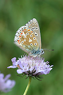 Adonis Blue Polyommatus bellargus Wingspan 32mm. A classic chalk downland butterfly, males of which are dazzling. Adult male has iridescent blue upperwings with black and white margins; female's upperwings are brown with orange submarginal spots. Underwings of both sexes are grey-brown with spots. Double brooded: flies May–June and July–August. Larva feeds on Horseshoe Vetch; can sometimes be found in short turf being attended by ants. Very local in southern England but entirely restricted to chalk downs.