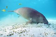 dugong or sea cow, Dugong dugon, feeding on sea grass, Halophila ovalis, accompanied by pilot jacks, Gnathanodon speciosus, Coral Bay, Western Australia ( Indian Ocean )n )
