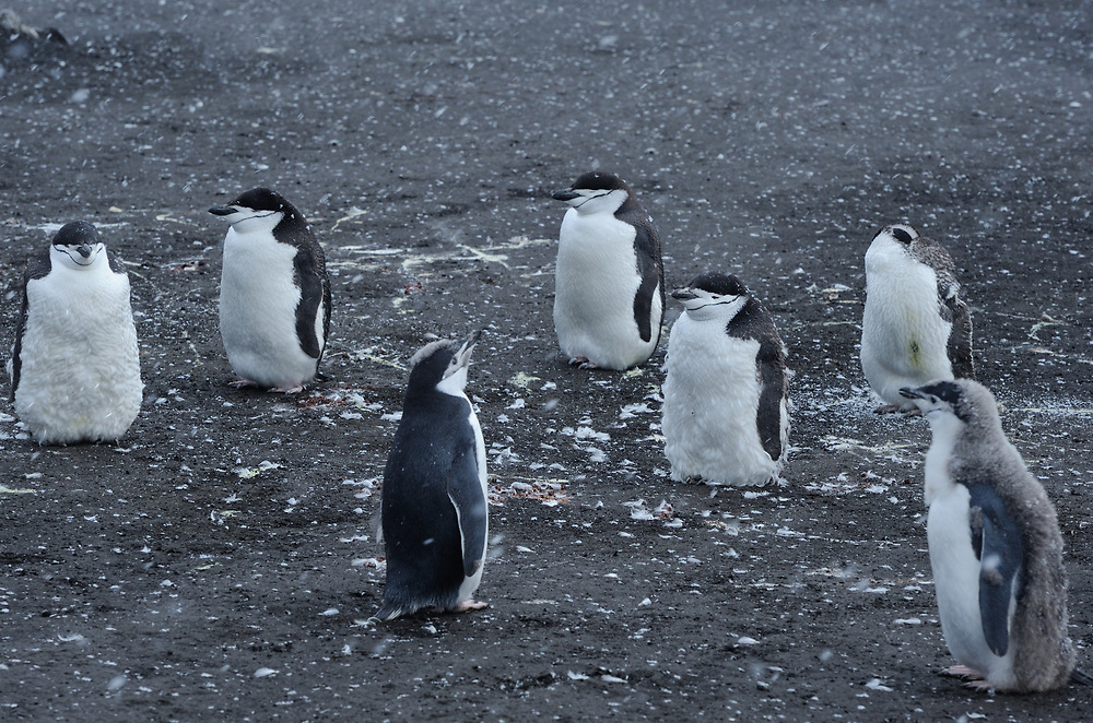Moulting Chinstrap Penguins (Pygoscelis antarctica)) stand on black volcanic sand in their nesting colony. Saunders Island, South Sandwich Islands. South Atlantic Ocean. 25Feb1