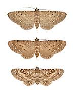 70.177 (1828)<br /> Satyr Pug - Eupithecia satyrata<br /> top= ssp. satyrata<br /> middle= ssp. callunaria<br /> bottom = ssp. curzonii
