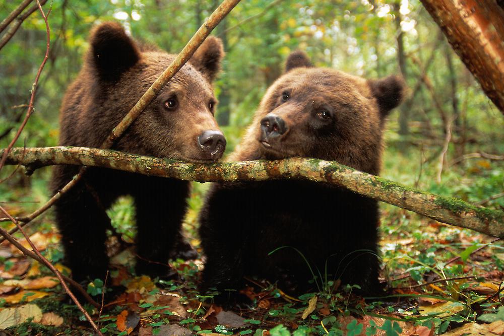 Brown bear, Ursus arctos, Tver District, Russia