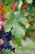 Bunches of ripe grapes. Vine leaf. Cabernet Franc. Chateau Belle-Garde, Bordeaux, France