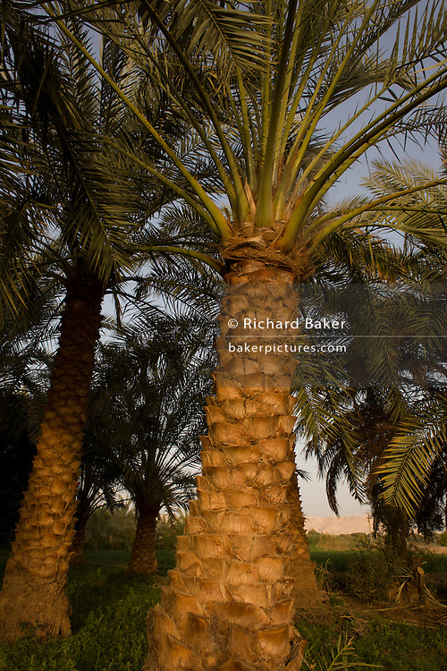 Date palms growing in fertile fields at Bedhal in Dahkla Oasis, Western Desert, Egypt where the availability of water determines the agricultural economic life in an oasis village. Dakhla Oasis consists of several communities, along a string of sub-oases. The main settlements are Mut (more fully Mut el-Kharab and anciently called Mothis), El-Masara, Al-Qasr, Qalamoun, together with several smaller villages. Some of the communities have identities that are separate from each other. Qalamoun has inhabitants that trace their origins to the Ottomans.