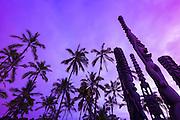 Palm trees and tikis at sunset, Pu'uhonua O Honaunau National Historic Park (City of Refuge), Kona Coast, Hawaii USA