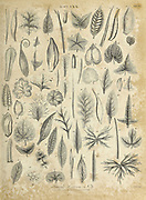 Different kinds of Simple Leaves Copperplate engraving From the Encyclopaedia Londinensis or, Universal dictionary of arts, sciences, and literature; Volume III;  Edited by Wilkes, John. Published in London in 1810