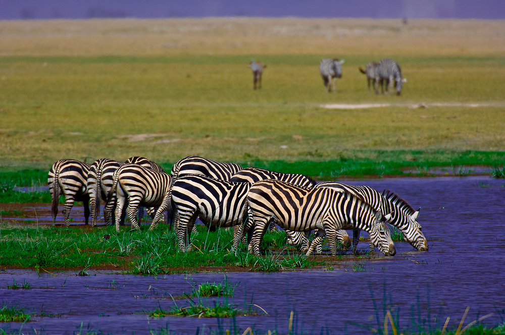A herd of zebra drinking, Amboseli National Park, Kenya