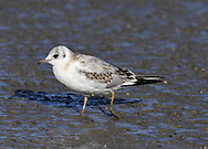 Black-headed Gull - Larus ridibundus - moulting juvenile