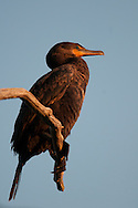 Double Crested Cormorant perched on branch overlooking Eldridge Lake at Eldridge Park in Elmira, NY