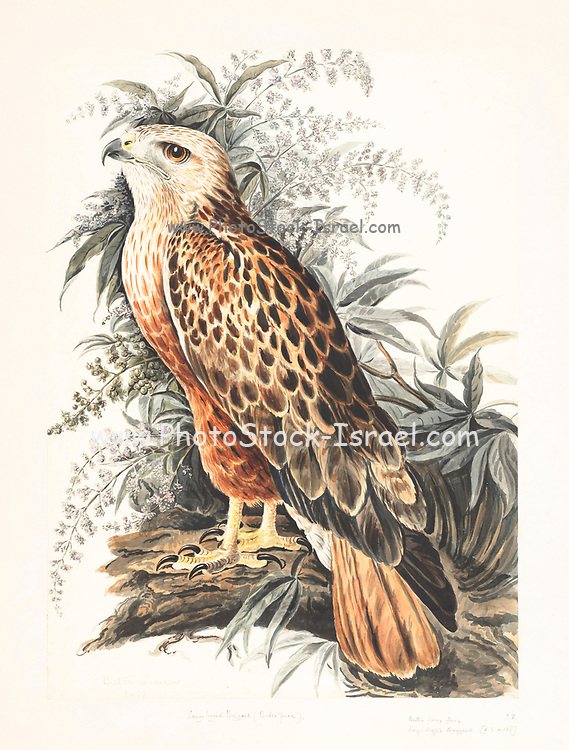 Long-legged buzzard (Buteo rufinus) in flight. This large bird of prey inhabits the dry open plains of northern Africa, southeastern Europe, west and central Asia east to China, and across central India. 18th century watercolor painting by Elizabeth Gwillim. Lady Elizabeth Symonds Gwillim (21 April 1763 – 21 December 1807) was an artist married to Sir Henry Gwillim, Puisne Judge at the Madras high court until 1808. Lady Gwillim painted a series of about 200 watercolours of Indian birds. Produced about 20 years before John James Audubon, her work has been acclaimed for its accuracy and natural postures as they were drawn from observations of the birds in life. She also painted fishes and flowers. McGill University Library and Archives