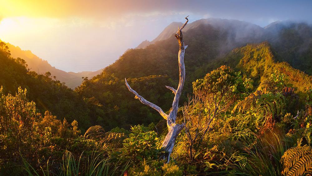 View at sunset of the Na Pali Coast's dramatically eroded Kalalau Valley from the Pihea Trail, Kokee State Park, Kauai, Hawaii.