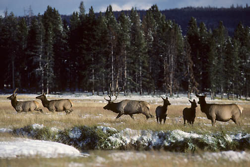 Elk (Cervus canadensis) bull in rut chasing cows across an open meadow during the fall in Wyoming.