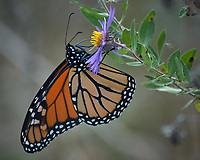Monarch Butterfly Feeding on a Purple Wildflower. Image taken with a Nikon D2xs camera and 80-400 mm telephoto zoom lens (ISO 400, 400 mm, f/5.6, 1/200 sec).