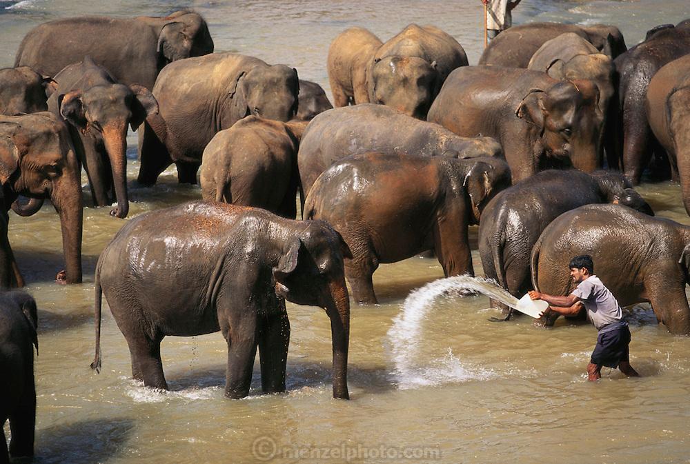 Elephant: Elephant orphanage at Pinnawella, Sri Lanka.