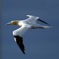 Northern Gannet in Flight From Deck 7 of the M/V Explorer Traveling in the English Channel. Image taken with a Nikon D800 and 70-300 mm VR lens (ISO 100, 300 mm, f/5.6, 1/2000 sec).