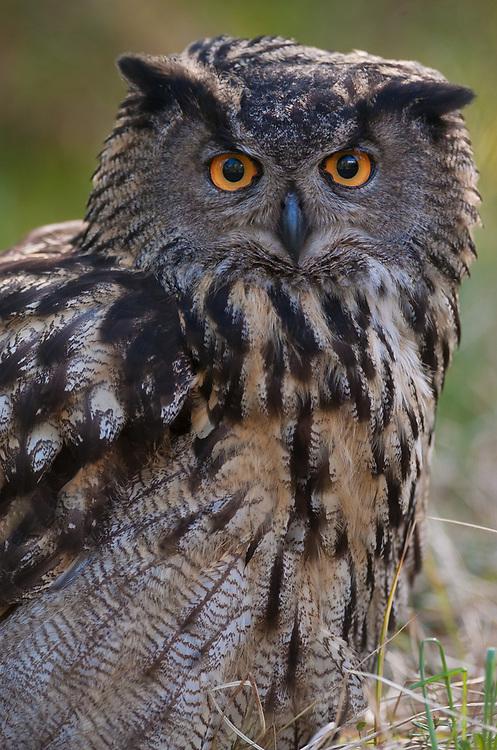 European Eagle owl, Bubo bubo, Captive, Vastmanland, Sweden