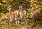 Guanaco (Lama guanicoe) youngsters, Parque Nacional Torres del Paine, Patagonia, Chile