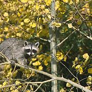 Raccoon (Procyon lotor) baby in an aspen tree, Montana. Captive Animal